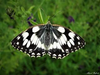 Butterfly 1615