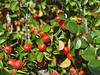 Cotoneaster horizontalis (Iggy Y) Tags: cotoneasterhorizontalis cotoneaster horizontalis autumn fertile fruit red berry color berries green leaves nature park plant mušmulica wallspray sunny day light