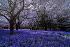 Because I Miss Spring (Lemuel Montejo) Tags: tree treetrunk treefield japan park blossom sakura violets