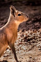 Mara Profile 3-0 F LR 2-20-18 J236 (sunspotimages) Tags: animal animals mara maras nature wildlife fonz fonz2018 zoos zoo zoosofnorthamerica