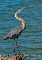 GBH (dbking2162) Tags: birds bird greatblueheron heron egrets wading pose wildlife water nature nationalgeographic fortmyersbeach florida animal
