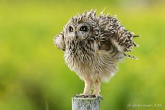 Coruja-do-nabal   Short-eared owl   Asio flammeus (Álvaro Nunes) Tags: corujadonabal asioflammeus shortearedowl