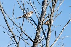 2017 Lark Sparrow 8 (DrLensCap) Tags: temecula california lark sparrow ca bird robert kramer