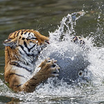 Tigress with ball, again thumbnail