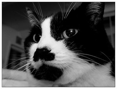 Wk03-2018 PicAweek (moi_images) Tags: cat portrait bw fur whiskers picaweek