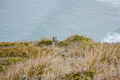 Peek-A-Boo (LauraJSwindle) Tags: norcal westcoast california ca waterscapes pointreyesnationalseashore deer cliff ocean animals wantaghfairfield nyca usa pointreyesstatepark pointreyes northerncalifornia nikond7100