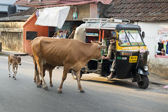 Room for Two? (www.davidbaxendale.com) Tags: india indian tuk tuktuk cow kerala fort cochin travel photography