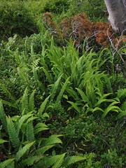 Fern stories (ewelina pstryka) Tags: norway norwegian flora forest wild macro green moss nature calm fairytale woods ferns fern dreamy