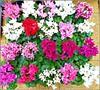 Cyclamen Plants .. (** Janets Photos **) Tags: uk flowers flora plants colours flowerstalls cyclamen