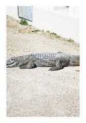 _PRE1849 (Jordane Prestrot) Tags: jordaneprestrot desseincaptif captivedesign ♈ zoo lyon crocodile crocodilo