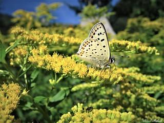Butterfly 1577