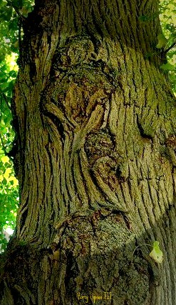 """A Linden Tree Trunk """"Woman"""" (nature's amazing) • <a style=""""font-size:0.8em;"""" href=""""http://www.flickr.com/photos/52364684@N03/25285838447/"""" target=""""_blank"""">View on Flickr</a>"""