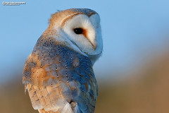 "Barn Owl, Tyto alba. ""Explore"" #121 on 13-02-2018 (Nigel Blake, 16 MILLION views! Many thanks!) Tags: barnowl tytoalba barn owl tyto alba nigelblakephotography nigelblake birds wildlife nature owls"