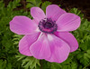 Vibrant Anemone (tresed47) Tags: 2018 201802feb 20180208longwoodflowers anemone canon7d chestercounty content february flowers folder longwoodgardens pennsylvania peterscamera petersphotos places season takenby us winter ngc npc