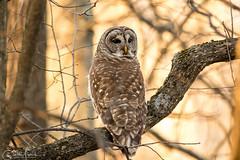 Barrd Owl. (ELARBI TAOUIL) Tags: birdphotography barredowl virginia birds bird prey
