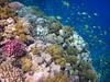 Coral Reef, Lahami Bay (bayernphoto) Tags: korallenriff riff reef coral bunt steinkorallen weichkorallen lederkorallen nemo clownfisch rochen blaupunkt leopard papageifisch fisch fish klar crystal clear aegypten egypt misr napoleon lippfisch schildkroete turtoise barsch grouper colorful intakt vielfaeltig diversitaet diversity falterfisch feilenfisch wimpelfisch doktor druecker kugelfisch moerdermuschel fusiliere red sea sohal wadi lahamy bay strand schnorcheln snorkelling diving apnoe picasso schwaemme mangroven meer unterwasser weichkoralle riffdach schnorchler turtle