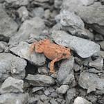A rather reddish toad thumbnail