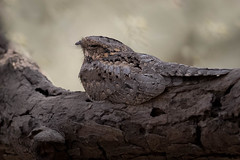 Indian Jungle Nightjar | Caprimulgus indicus indicus | नैटजा (Paul B Jones) Tags: india indianjunglenightjar caprimulgusindicusindicus नैटजा girnationalpark gujarat animal nature wildlife canoneos1dxmarkii ef500mmf4lisiiusm inde indien indië asia asian tourist tourism travel ecotourism indian indiya camouflage hidden daytime branch