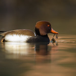 Netta rufina, Fistione turco, Nette rousse, red-crested pochard thumbnail