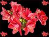 Red Blossom (Jan 1147) Tags: redblossom red rood blossom bloei bloem bloemen flower flowers natuur nature belgium
