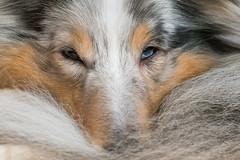 Tired Sigrid The Sheltie... (stefanh.varberg) Tags: sigma hund macro sigrid ögon dogs 105mm clyde´sfriends sheltie shetlandsheepdog eyes closeup
