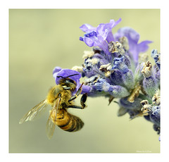 Busy bee (Graham Pym) Tags: purple nikon pollen nectar lavendar wings insect nature