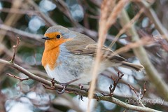 IMG_3493 (mrpauladams) Tags: snow ice canal canalbasin narrowboats boats boat barge barges water frozen snowing bike bicycle bench winter hat robin robinredbreast tree trees bramble bush buds photographer photo photographers sit sitting loch lock camera cameras canon70d sony nikon lens primelens telephotolens bird swan lake wings feathers feather beak bill fly seagull seagulls gull gulls buoy buoys float floats rope wet slippery abandoned hut reeds ducks feed cold branches branch perch perches perched sing birdsong