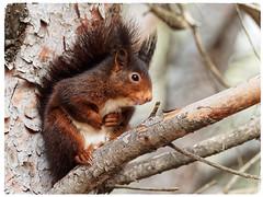 Esquirol vermell - Ardilla roja - Red squirrel - Sciurus vulgaris (aurearamon) Tags: redsquirrel sciurusvulgaris esquirolvermell ardillaroja animal olympus em5 micro43 leica100400f463