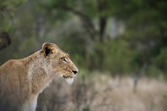 Lion in South Africa 2017 (chloepalk-huggins) Tags: lion krugernationalpark southafrica 2017
