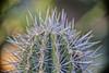 What a Prick! (<3Vanessa) Tags: 90mm 7dwf macromadness macro muttartconservatory macroflowers cactus cacti edmonton yeg yellow green bokeh needles prickly prick