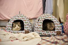 雙貓奇謀 / Two Cats (yiming1218) Tags: vm40 voigtlander voigtlander40mm nokton classic 40mm f14 sc sony cat animal 貓咪 貓 喵星人 scottish fold ilce7rm2 a7rm2 a7r2 福倫達