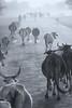 per le strade del rajasthan (mat56.) Tags: strada strade road roads rajasthan india asia mucche herd cows mandria foschia mist bianco black nero white monocromo monochrome antonio romei mat56