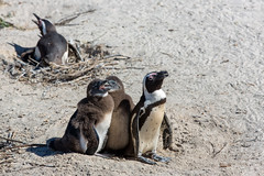 Chicks (davidthegray) Tags: bird penguin sudafrica capetown capepeninsula boulderspenguincolony chick boulders cittàdelcapo kaapstad southafrica birds westerncape za