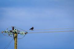 Ensam är stark(ström). (MagnusBengtsson) Tags: fs180204 fotosondag solo fågel bird ledningar powerlines