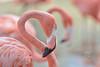 American Flamingo (also called Caribbean Flamingo ) (Zara Calista) Tags: american flamingo caribbean bird nature outdoors pond aquatic pastel pink peach nikon nikkor