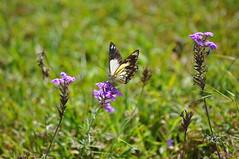 Caper white (Belenois java teutonia), female (sarracenia.flava) Tags: bunya mountains queensland australia butterfly caper white pieridae