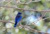 Western Bluebird (linda m bell) Tags: irvineregionalpark irvine california 2018 birds birdwatching socal westernbluebird
