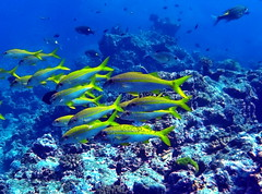 Snappers (markb120) Tags: animal fauna fish coral water sea underwater diving scuba