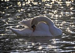 Heavenly Body (MrBlueSky*) Tags: swan bird animal water waterfowl nature outdoor colour sun kewgardens royalbotanicgardens london pentax pentaxart pentaxlife pentaxk1 pentaxawards pentaxflickraward aficionados