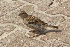 IMG_6730 (Lightcatcher66) Tags: spatzensparrows florafauna makros lightcatcher66