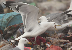 Pontische meeuw - Larus cachinans - Caspian Gull (merijnloeve) Tags: pontische meeuw larus cachinans caspian gull ruse roese rubbish tip meeuwen gulls