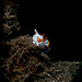 Juvenile warty frogfish - Antennarius maculatus