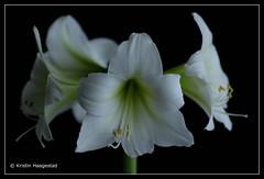 White amaryllis on black           Explored 22.2.2018 (K. Haagestad) Tags: amaryllis flowers framed stemens