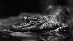 Week 10 Vision:Selective Color (arlene sopranzetti) Tags: alligator selective color eye dogwood2018 jenkinsons aquarium nj point pleasant bw monochrome black white macro