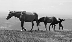 ° Generations (° Ivan) Tags: animals horses blackwhite bw landscape nature family generations time protection love mum son contrast contrasts mountain grazing pasture valcava torre debusi bergamo italy italia lombardia lombardy bergamasque alps