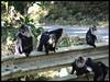 The Monkey Gangs of Valparai (Indianature st2i) Tags: westernghats valparai indianature india tamilnadu tea teaestate anamalais anamallais anamalaitigerreserve nature mountains ltm macacasilenus monkeygangvalparai monkey liontailedmonkey liontailedmacaque liontailedmonkeyinthewild wildlife wildlifewithpeople wildlifehabitat 2018 january february roadkill roadkills wildliferoadkill endangeredwildlifeofvalparai roadkillsinvalparai westernghatswildliferoadkills