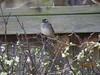 White-Throated Sparrow (birdsflocktogether) Tags: whitethroatedsparrow bird arkansas