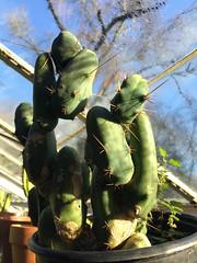 Trichocereus bridgesii monstrose Short Form (djnionas) Tags: bridgesii trichocereus