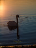 Swan in Winter sunset (CecilieSonstebyPhotography) Tags: bokeh markiii january 135mmf18dghsmart017 sunset swan backlight canon5dmarkiii winter sunlight outdoor canon reflection water sea