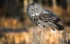 Another Great Grey Owl Portrait (rmikulec) Tags: great grey owl bird nature animal photoshoot bokeh sony fe 100400mm